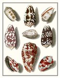 Collected Shells VI Art Print