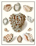 Collected Shells VIII Art Print