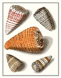 Collected Shells IX Art Print