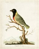 Capital Tanager Art Print