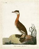 Red-Necked Grebe Art Print
