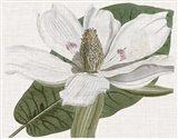 Curtis Magnolia II Art Print