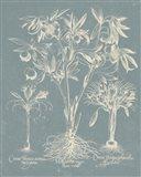 Delicate Besler Botanical II Art Print