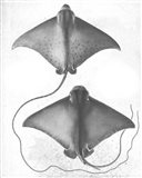 Grey-Scale Stingrays I Art Print