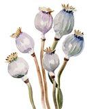 Watercolor Poppy Pods I Art Print