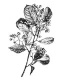 Hawthorn Berry Branch I Art Print