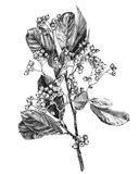 Hawthorn Berry Branch II Art Print