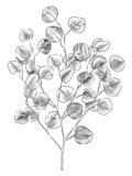 Eucalyptus Sketch I Art Print