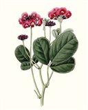 Roseate Blooms III Art Print