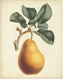 Antique Pear Botanical I Art Print