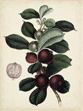 Antique Foliage & Fruit I Art Print