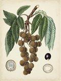 Antique Foliage & Fruit III Art Print
