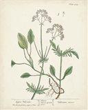 Antique Herbs VI Art Print