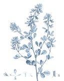 Antique Botanical in Blue VIII Art Print
