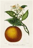Antique Citrus Fruit I Art Print