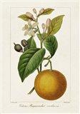 Antique Citrus Fruit II Art Print