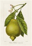 Antique Citrus Fruit III Art Print