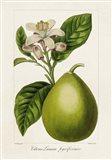 Antique Citrus Fruit IV Art Print