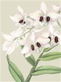 Small Orchid Blooms II (P) Art Print
