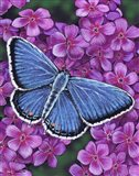 Eastern Tailed Blue Butterfly Art Print
