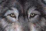 Eyes of the Wolf Art Print