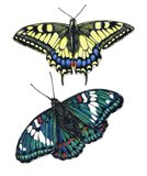 Yellow Swallow Tail and Gaudy Baron Butterflies Art Print