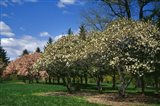 Row of Magnolia Trees Blooming in Spring, New York Art Print