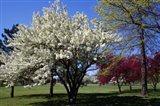 Pin Cherry Tree Blooming, New York Art Print