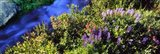 High angle view of Lupine and Spirea flowers near a stream, Grand Teton National Park, Wyoming, USA Art Print
