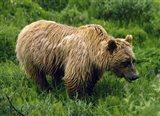 Rain-Soaked Grizzly Bear In Grass, Profile, Denali National Park, Alaska Art Print