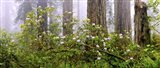 Rhododendron flowers in a forest, Del Norte Coast State Park, Redwood National Park, Humboldt County, California, USA Art Print