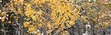 Aspen trees in autumn, Grand Teton National Park, Wyoming, USA Art Print