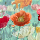 Poppies in Bloom I Art Print