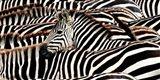 Herd of Zebras Art Print