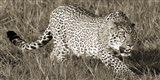 Leopard Hunting Art Print