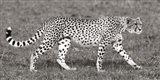 Cheetah Hunting, Masai Mara Art Print