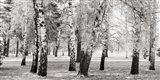 Birches in a Park Art Print