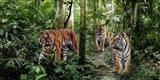 Bengal Tigers (detail) Art Print