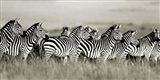 Grant's Zebra, Masai Mara, Kenya Art Print