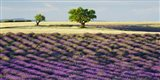 Lavender Field and Almond Tree, Provence, France Art Print