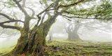 Laurel Forest in Fog, Madeira, Portugal Art Print