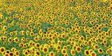 Sunflower field, France Art Print