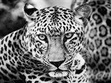 Young Leopard Art Print