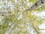 Birch Woods in Spring Art Print
