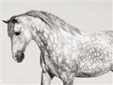 Leia, Andalusian Pony Art Print