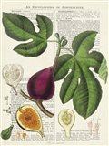 Fruits de Saison, Figues Art Print