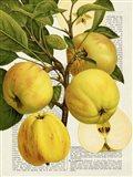 Fruits de Saison, Pommes Art Print