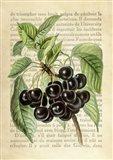 Cherries, After J. Wright Art Print