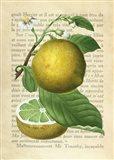 Grapefruit, After Redoute Art Print