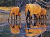 African Elephants, Okavango, Botswana Art Print
